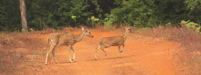 A running shot of the deer