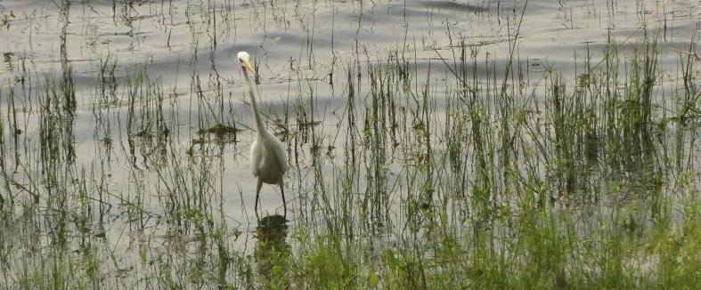 egret's fashionable pose