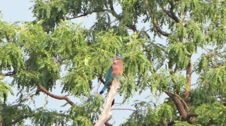 Indian roller again