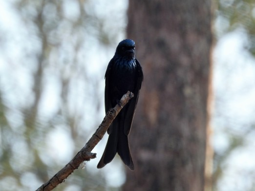 The bronze drongo - look at its metallic shades :)